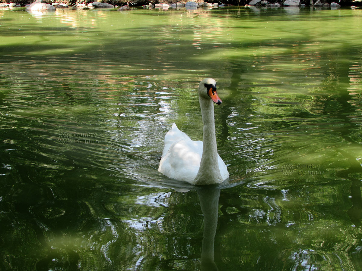 Лебедь в воде. Заповедник Аскания-Нова.